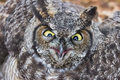 Great horned owl close up shot bc canada Stock Photos