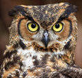 Great horned owl closeup of a head Royalty Free Stock Image
