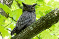 Great horned owl delta bc canada may Royalty Free Stock Image