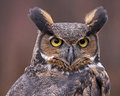 Great horned owl face a close up of a bubo virginianus looking back at something Royalty Free Stock Image