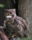 Great Horned Owl Florida Royalty Free Stock Photo