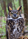 Great horned owl in the forest closeup of a woods Stock Photo