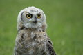 Great horned owl juvenile Stock Photos