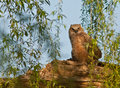Great horned owl a juvenile sitting on the tree Royalty Free Stock Image