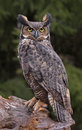 Great horned owl look a bubo virginianus sitting on a tree stump Royalty Free Stock Photo