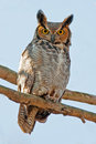 Great horned owl looking down at camera Royalty Free Stock Images