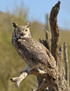 A great horned owl on an old snag bubo virginianus perched Stock Photo