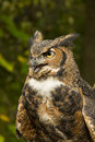 Great horned owl with open mouth and a cataract on one eye Royalty Free Stock Photos