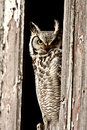 Great Horned Owl perched Royalty Free Stock Photography
