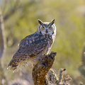 Great horned owl perching on a branch Royalty Free Stock Photos