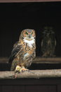 Great horned owl the sitting on the perch Royalty Free Stock Photography