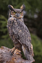 Great horned owl stare a bubo virginianus sitting on a tree stump Royalty Free Stock Images