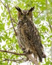 Great horned owl staring down from a perch Royalty Free Stock Photo