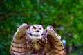 Great Horned Owl Taking Flight Stock Images