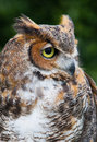 Great horned owl with tuffs of feathers resembling antlers looking right Royalty Free Stock Photography