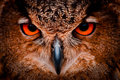 Great horned owl was photographed world bird sanctuary st louis mo intense Royalty Free Stock Photo