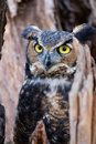 Great horned owl a watches from a hollowed out tree trunk Royalty Free Stock Image