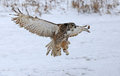 Great horned owl with wings spread a bubo virginianus gliding up snow falling in the background Stock Image