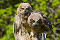 Great horned owlets young owls perched on a tree Royalty Free Stock Photo