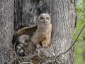 Great Horned Owls Royalty Free Stock Photo