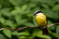 Great Kiskadee Stock Images