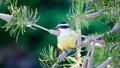 Great Kiskadee ( Pitangus sulphuratus) Royalty Free Stock Photo