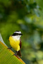 Great Kiskadee, Pitangus sulphuratus, brown and yellow tropic bird with dark green forest in the background, nature habitat, Costa Royalty Free Stock Photo