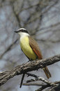 Great kiskadee a sits in a tree is common in the lower rio grande valley Royalty Free Stock Photo