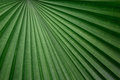 Great line of fiji fan palm the leaf has distinctive strong lines Royalty Free Stock Photos