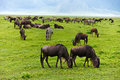 Great migration of wildebeests in serengeti national park tanzania Stock Photos