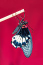 Great mormon papilio memnon agenor butterfly close up of newly born clinging on stick with red background Stock Images