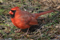 Great northern cardinal male on ground a the in early spring Royalty Free Stock Photo