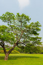 Great old oak tree in harsh daylight of thailand Royalty Free Stock Photo