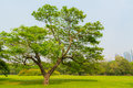 Great old oak tree harsh daylight thailand Stock Photos
