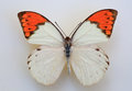 Great Orange Tip Royalty Free Stock Photo