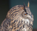 Great owl Royalty Free Stock Photo