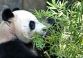 The great Panda Ailuropoda melanoleuca is a bamboo bear, one of the rarest animals listed in the international Red book. Royalty Free Stock Photo