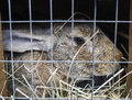Great pedigree rabbit in a cell the grey Stock Photo