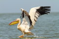 Great pelican taking flight form water surface Royalty Free Stock Photo