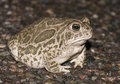 Great Plains toad Royalty Free Stock Photo
