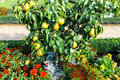 Great plenty of fruits on dwarfish pear tree Royalty Free Stock Photo
