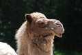 Great Profile of a Camel with Shaggy Fur Royalty Free Stock Photo