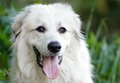 Great Pyrenees Dog Royalty Free Stock Photo