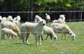 Great pyrenees guarding her flock pyranees known for the sheep herding skills is in a green pasture Stock Images