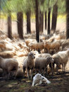 A Great Pyrenees Guards His Sheep with Focal Zoom Effect Royalty Free Stock Photo