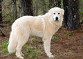 Great Pyrenees Livestock guardian dog Royalty Free Stock Photo