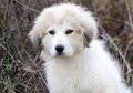 Great Pyrenees Puppy Royalty Free Stock Photo