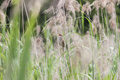 Great reed warbler cannareccione singing amongst reeds Royalty Free Stock Photography