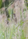 Great reed warbler cannareccione singing amongst reeds Stock Images