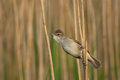 Great reed warbler hanging on to a stem Royalty Free Stock Photo